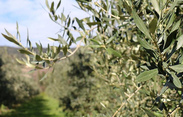 Les oliviers de Nyons